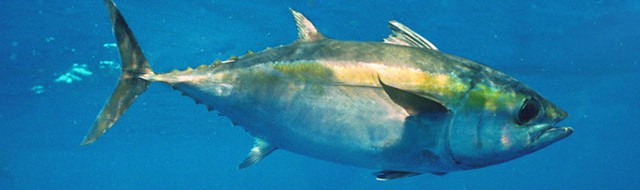 NMFS' Proposed Rule Extends Sky's-the-Limit Fishing on Bigeye Tuna