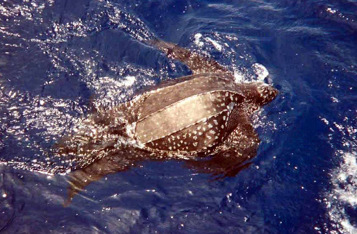 Longliners Chafe at Draft Measures to Protect Endangered Sea Turtles