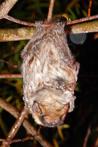 Endangered Hawaiian hoary bat. Credit: Forest and Kim Starr