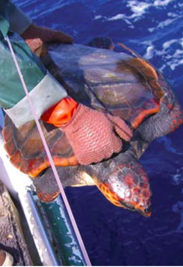 Court Orders Closure of Swordfish Fishery to Protect Loggerhead Turtles