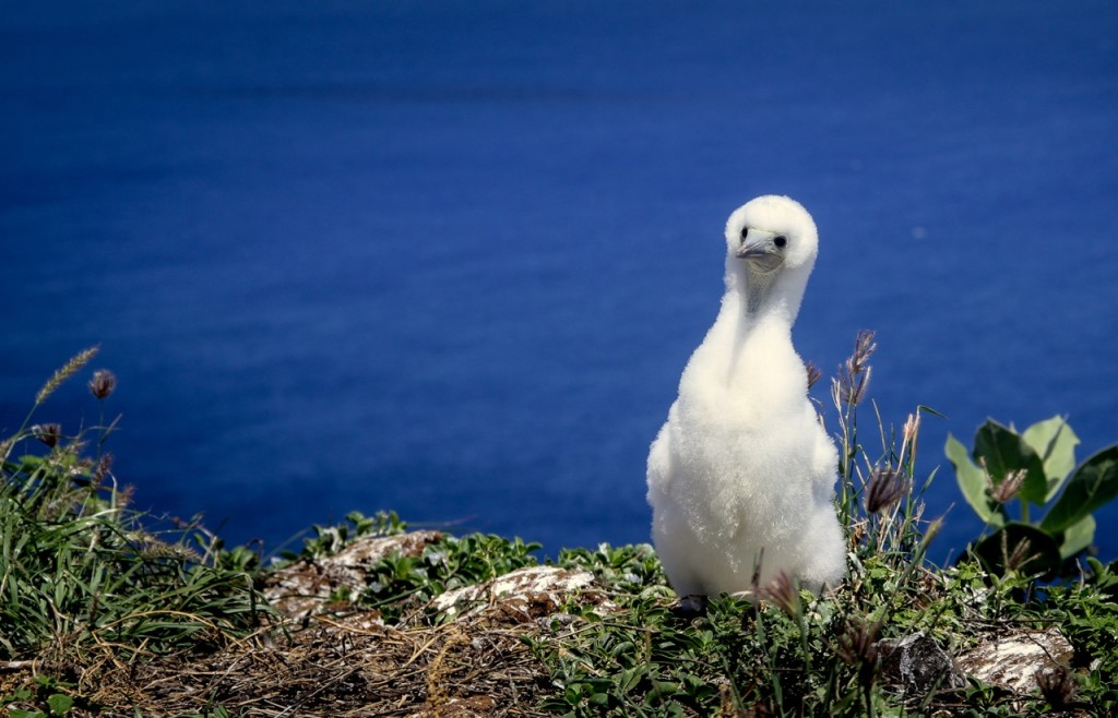Red-footed booby chick on Lehua island. Credit: Island Conservation