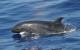 False killer whale. Credit: Robin Baird