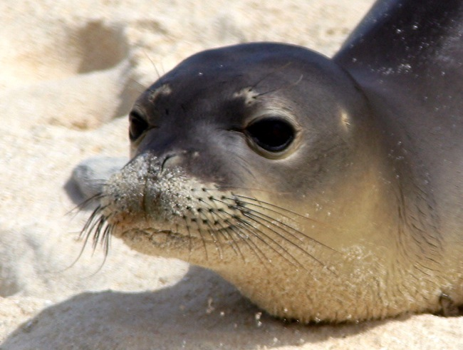 Hawaiian monk seal. Credit: PIFSC, NOAA