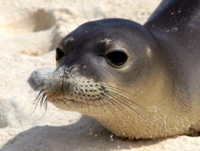 Hawaiian monk seal. Credit: PIFSC, NOAA