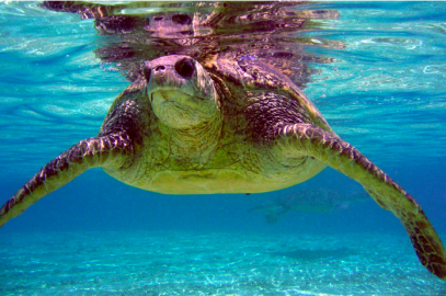 Comment Period on Green Turtle Population Status Is Extended