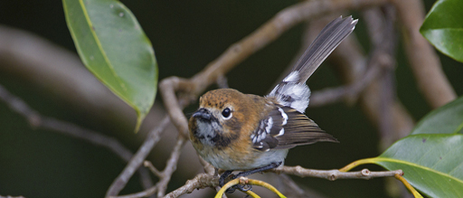 Photo: `Oahu `elepai`o, one of the rare species found in Pia Valley (credit U.S. Fish and Wildlife Service)