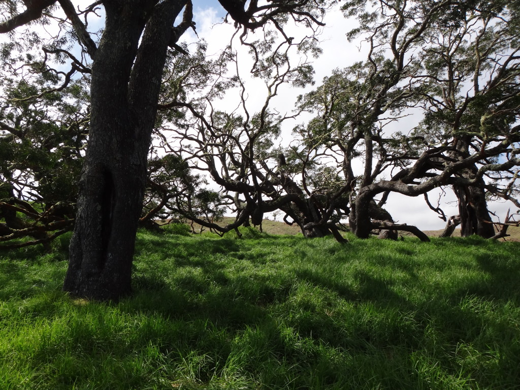 A stand of old-growth koa at Kukaiau Ranch.