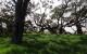 A stand of old-growth koa at Kukaiau Ranch.