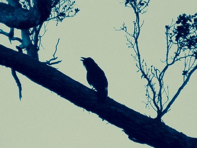 Wild Alala in silhouette (Glenn Klingler)