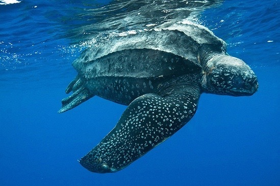 NMFS Heeds Council Recommendation On Turtle Take Limits for Swordfish Trips